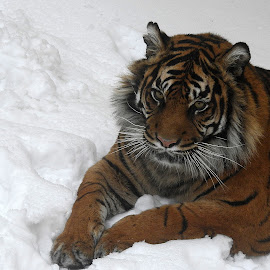 Snow Queen by Kathryn Willett - Animals Lions, Tigers & Big Cats ( big cat, tiger, snow, captive, portrait )