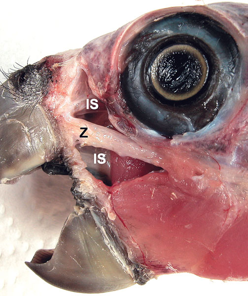 View of the infraorbital sinuses in a blue-fronted Amazon parrot with the lateral wall removed