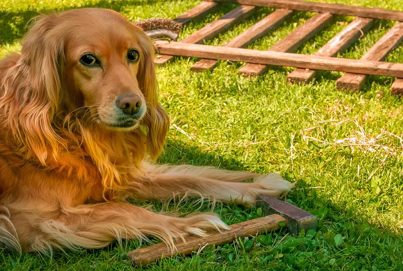 Il cane che costruiva le staccionate di legno di gnuc