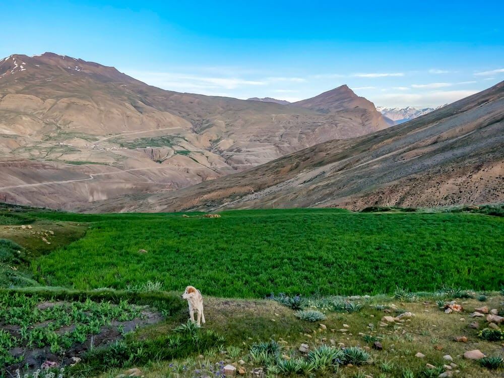 dog+chicham+mountains+Spiti.jpg