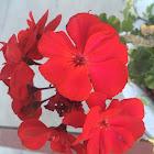 Garden Geranium