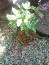 Photo: kokedama avec plante aluminium   tarif : 12 euros