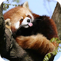 Cute Red Panda icon