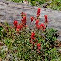 Rosy Paintbrush