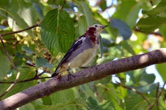 Photo: 撮影者:村山和夫 コムクドリ  タイトル:コムクドリ現る 観察年月日:2014年9月14日 羽数:1羽(雄) 場所:小宮公園ひよどり山/市民農園前ミズキ樹上 区分:希少 メッシュ:拝島7A コメント:ミズキは、一般的な樹木と思うが、ここのミズキの実は味が特に良いのか?10種を超える野鳥が見られる。常連のベストスリーはアオバト、エゾビタキ、メジロで今日はコムクドリがやって来た。