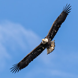 Bald Eagle 5065 by Carl Albro - Animals Birds ( bird in flight, bird of prey, wings, flying, soar, bald eagle, hawks and eagles, wildlife )
