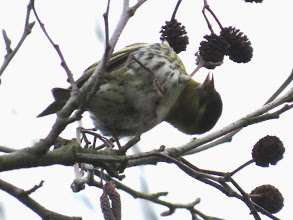 Photo: Priorslee Lake You cannot have a stiff neck if you are a male Siskin and want that last seed from the Alder cone. You also have to avoid jabbing your foot. (Ed Wilson)