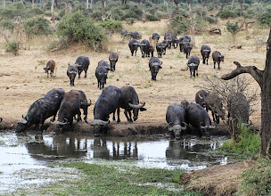 Photo: Buffels bij de waterhole