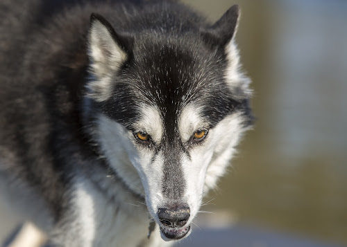 Look Into My Eyes by Bill Tiepelman - Animals - Dogs Portraits ( head-on, wolf, white, fur, ears, dog, portrait, black, Dogs, Cats, Pets, Rabbits, Animals, pet, livestock, cows, #GARYFONGPETS, #SHOWUSYOURPETS,  )