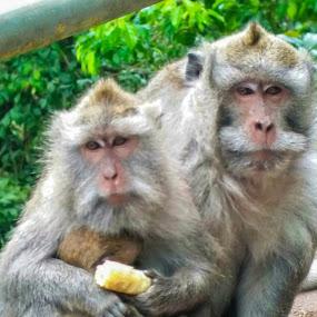 Monkey by Eka Astiputra - Animals Other Mammals ( monkeys, monkey, binatang, mammal )