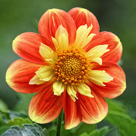Dahlia F by Raphael RaCcoon - Flowers Single Flower