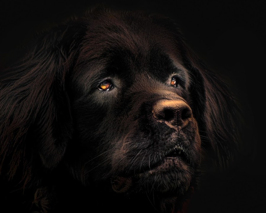 Portrait of a Newfie by Sheen Deis - Animals - Dogs Portraits ( dogs, newfoundland, portraits,  )