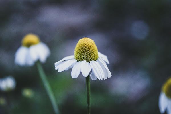 Tutù di petali. di Lincefantasiosa