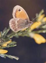 """Photo: Le Procris """" Coenonympha pamphilis"""" sur un genêt."""