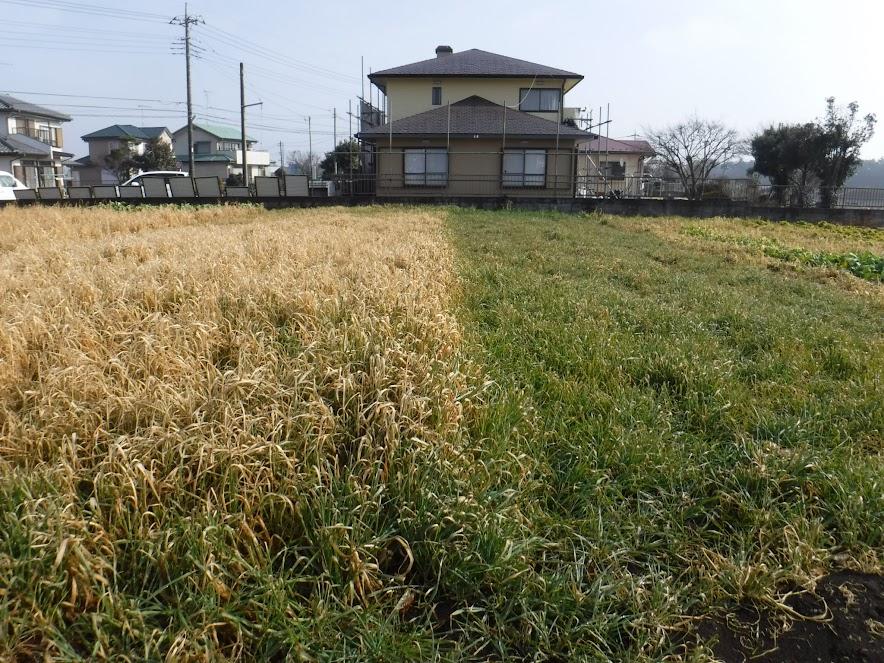 2週間差で播いたほうれん草の畑。夏の緑肥のエン麦が種をどっさりこぼして、びっしり生えました。大きくなったエン麦は氷点下の冷え込みで枯れました。小さいエン麦はまだ青い。ほうれん草はもちろん育ちませんでした。
