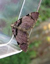 Photo: Streamer moth © Keith Gittens 2015