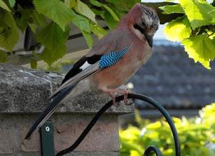 Photo: Fauna Vlaamse Gaai. Foto Marijke van den Eertwegh