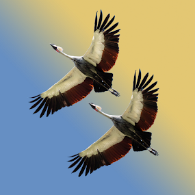 Flying Cranes by Merina Tjen - Lim - Animals Birds ( bird, flying, kraanvogel, decoration, crane )