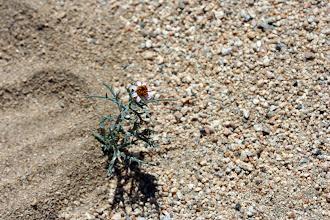 Photo: Nicolletia occidentalis