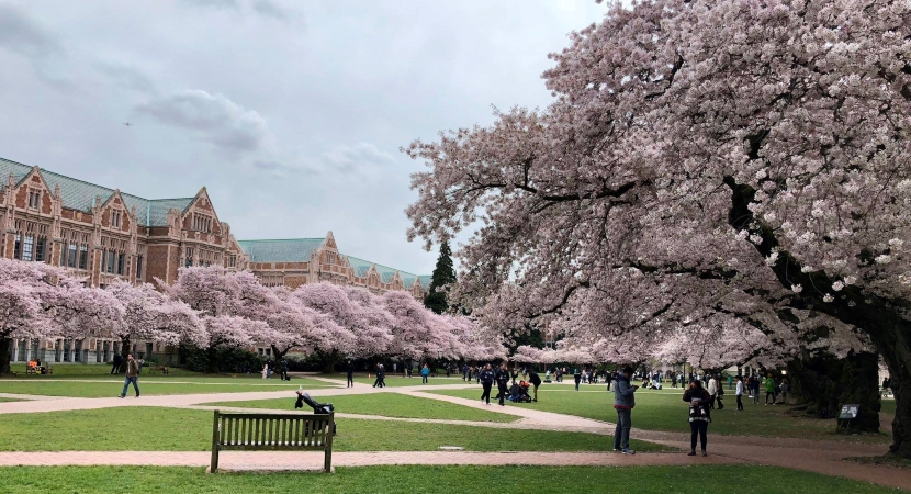 cherry blossoms on the University of Washington campus