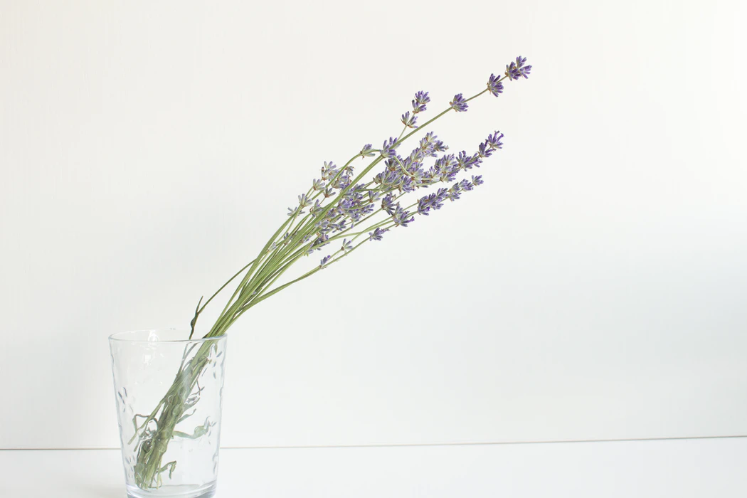 Lavender plant (small purple flowers at the end of long green stems) in a clear cup against a white background.
