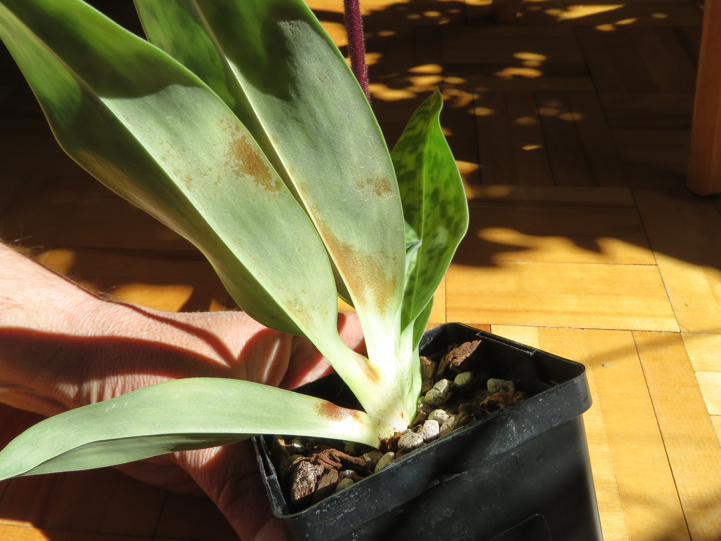 Les orchidées de Grigri - Page 4 MKNoiPEqIo-Py6fvElBOgBmyr6RJDRLz8ZI1ym9s7eGX462swuc6gAMddYMP40P-xhioepgJwmdxKtpympG8fLYasp1YLBZDR6LKnMmNNbuVQqZg5usim9RXsZhNDO0b8oh6az6DISQ=w2400