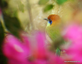 Photo: Russet-crowned Motmot; Rancho Primavera, near Tuito, Jalisco