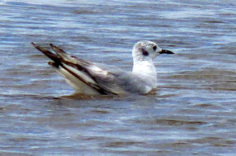 Photo: Bonaparte's Gull is easily identified by black spot behind the eye and black bill.
