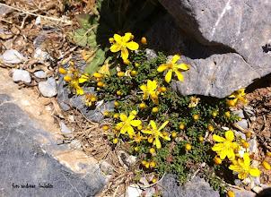 Photo: fumana paphlagonica ssp.alpina ΟΡΟΣΕΙΡΑ ΔΙΚΤΗΣ (1954μ.)  ΦΟΥΜΑΝΑ Η ΑΛΠΙΚΗ: Πολύκλαδο νανώδες φυτό με βλαστούς αποξυλωμένους έρποντες,κίτρινα άνθη που ανθίζει το καλοκαίρι.Οικότοπος: Ασβεστολιθικές κοιλότητες και σχισμές βράχων,σάρες και ανοιχτά πετρώδη μέρη (1400μ.-2100μ.)