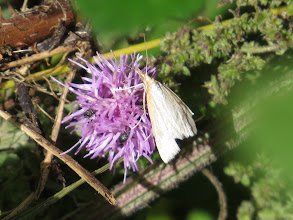 Photo: 12 Aug 13 Priorslee Lake: Arather worn example of a Udea lutealis (Pale Straw Pearl) here feeding on the nectar of Knapweed (Centaurea sp.). Many species of moth do not feed in the imago phase. Note also the two very small beetles crawling in between the petals. (Ed Wilson)
