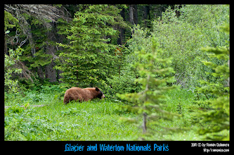 Photo: Waterton National Park: oso merodeando cerca del Cameron Lake Trail.