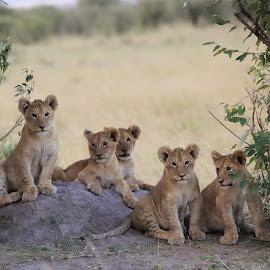 Cousins family portrait by Shreyas Kumar - Animals Lions, Tigers & Big Cats ( cuns, masai mara, familyportrait, lions, lion cubs )