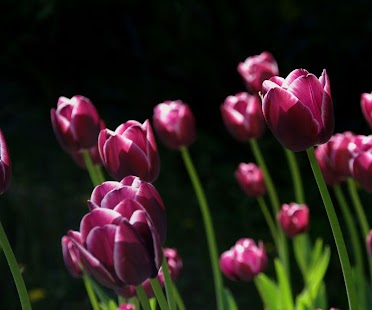 Purple Tulip Wallpaper - náhled