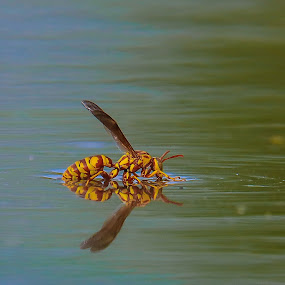 Thirst by Janez Žalig - Animals Insects & Spiders ( žeja, reflection, hunting, lake, lov, plavanje, odsev, jezero, thirst, swimming )