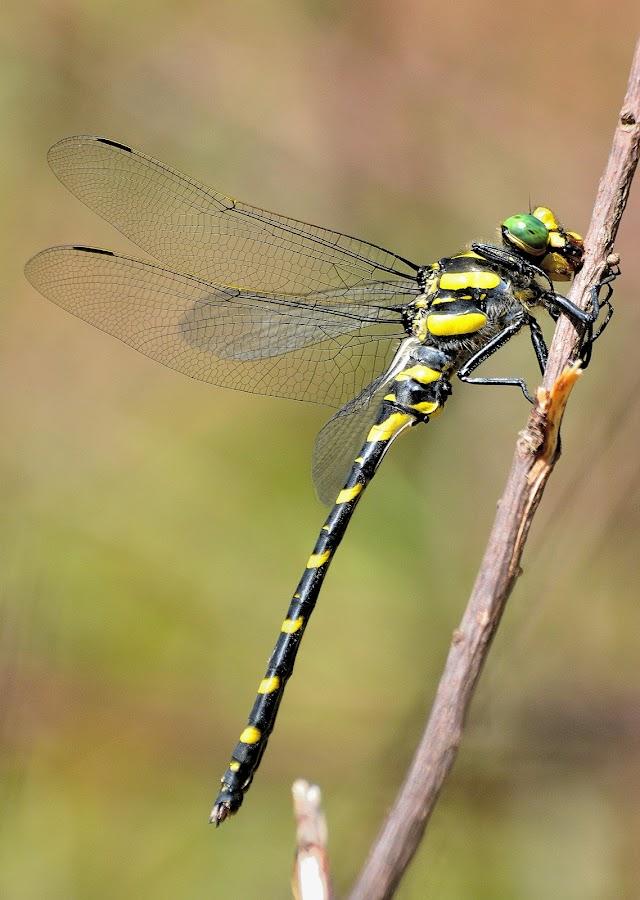 Cordulegaster boltonii algirica, male by Ricardo Costa - Animals Insects & Spiders ( serra de monchique, algarve, odonata, portugal, dragonflies,  )