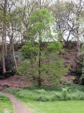 Photo: Dawn Redwood Tree in Northcliffe Wood Shipley