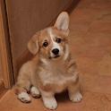 Corgi Dogs Wallpapers icon