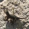 Spiny Lizard (juvenile)