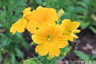 Photo: 拍攝地點: 梅峰-溫帶花卉區 拍攝植物: 美人襟 拍攝日期: 2014_04_16_FY