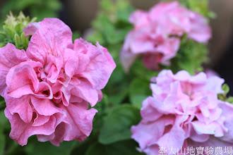 Photo: 拍攝地點: 梅峰-溫帶花卉區 拍攝植物: 重瓣矮牽牛 拍攝日期: 2014_07_27_FY