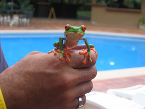Photo: Red-eyed tree frog--too cute!