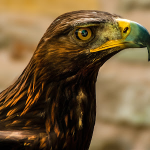Golden Eagle (Aquila chrysaetos)7.jpg