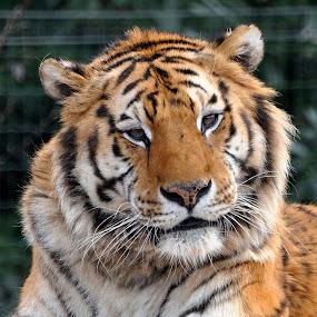 Big cat by David Branson - Animals Lions, Tigers & Big Cats