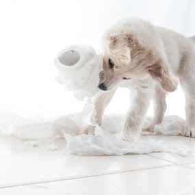 The Paper Shredder by Idan Presser - Animals - Dogs Puppies ( playing, dogie, pup, idan presser(c), dog, toilet paper, pwcpuppies )