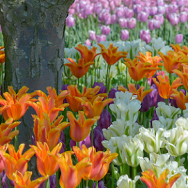 by Keith Sutherland - Flowers Flower Gardens ( tulips )
