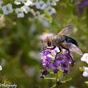 Tachninid Fly