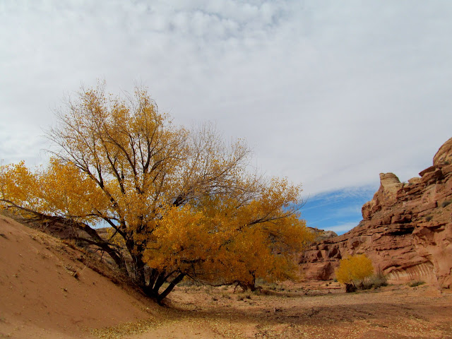 More yellow cottonwoods