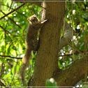 Callosciurus erythraeus 赤腹松鼠