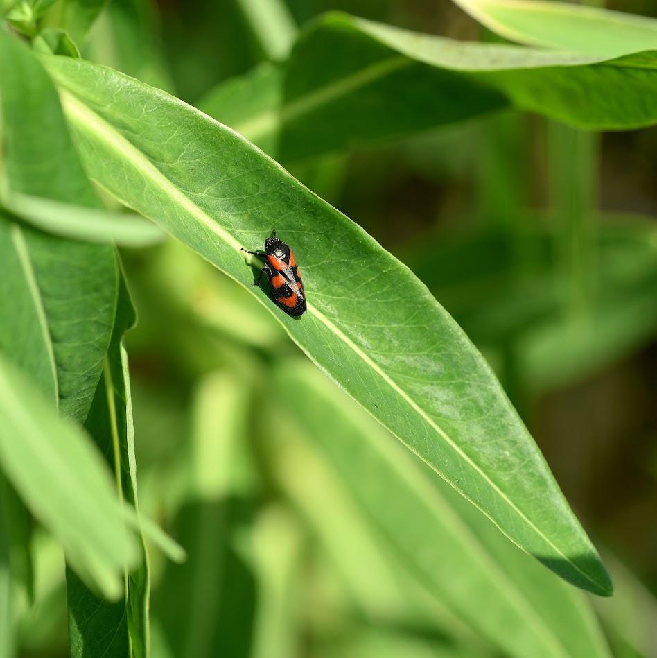 blad met Bloedcicade - Cercopis vulnerata