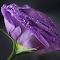 P1240427-PurpleRose.jpg